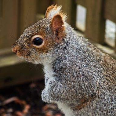 A close-up of a grey squirrel in profile.