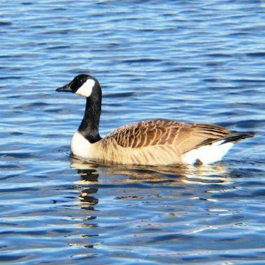 Canadian Goose on Norfolk Broads, UK.