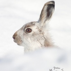 One of the Mountain Hares that I go into the Mountains of Scotland to photograph. They really are a joy to watch and I am very lucky to be able t...