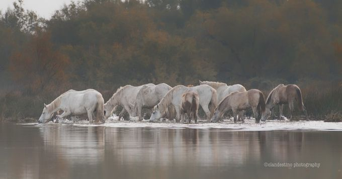 camargue-horses by clandestino - My Best Shot Photo Contest Vol 2