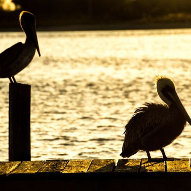 Silhouette of pelicans