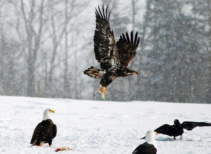 Juvenile Bald Eagle by debbieblack_8105 - Majestic Eagles Photo Contest
