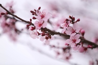 Cherry Colored Blossom