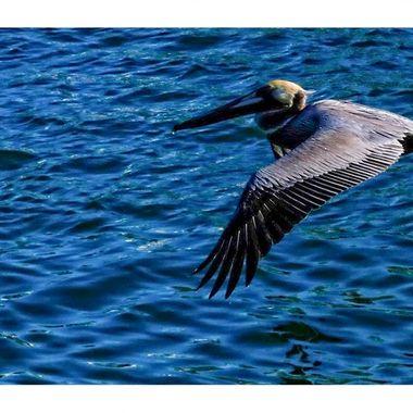 Pelican 2 copy