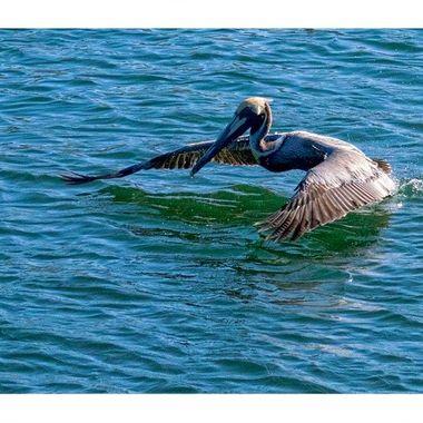 Pelican 1 copy