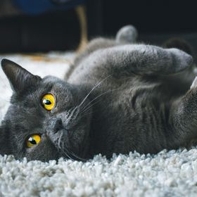 Luna, my British Shorthair cat, relaxing on the carpet.