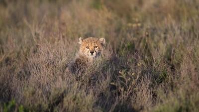 Cautious Cub
