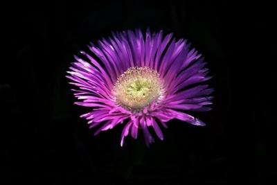 Fendlers Hedgehog Cactus Flower