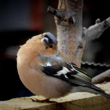 Super cute chaffinch