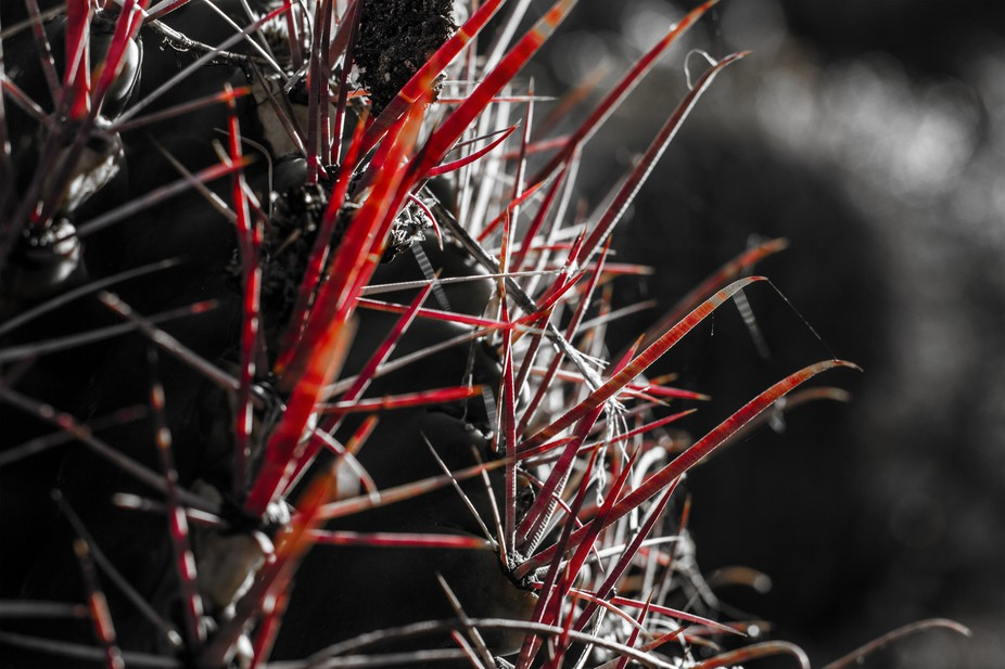 A barrel cactus' long red thorns