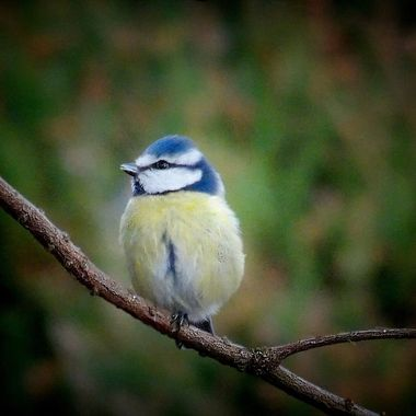 Super sweet Bluetit