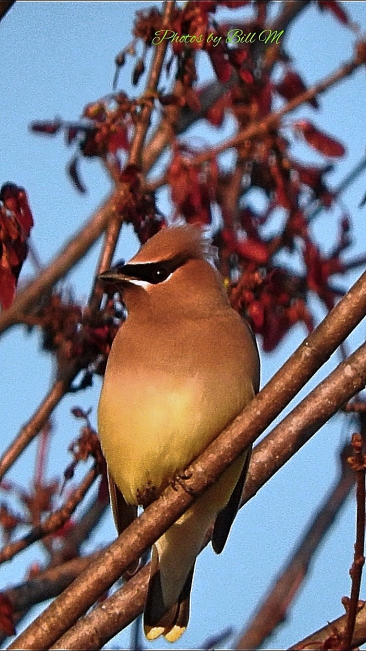 Rare visit from some Cedar Waxwings and I was able to get a few shots before they flew away