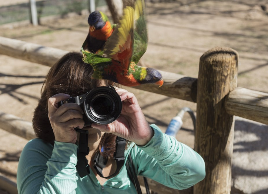 humor - Lorikeet flying the coup instead of helping the photographer.
