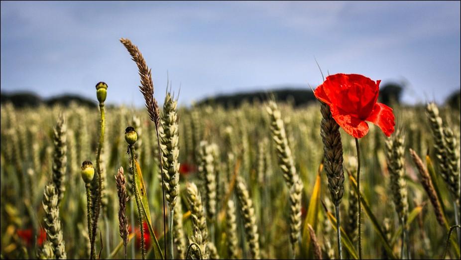 Poppy in Wheat