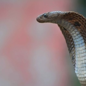 i was roaming in street then i saw a cobra is posing for photos