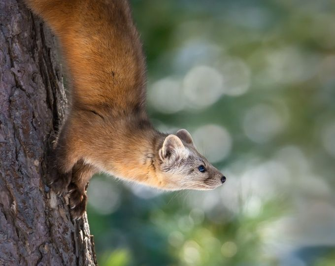 Marten-on-Tamarack by tracymunson - Depth In Nature Photo Contest