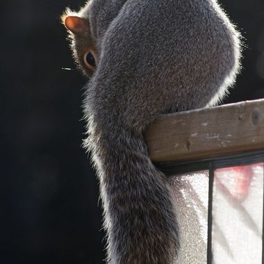 A grey squirrel on a wooden and glass fence.