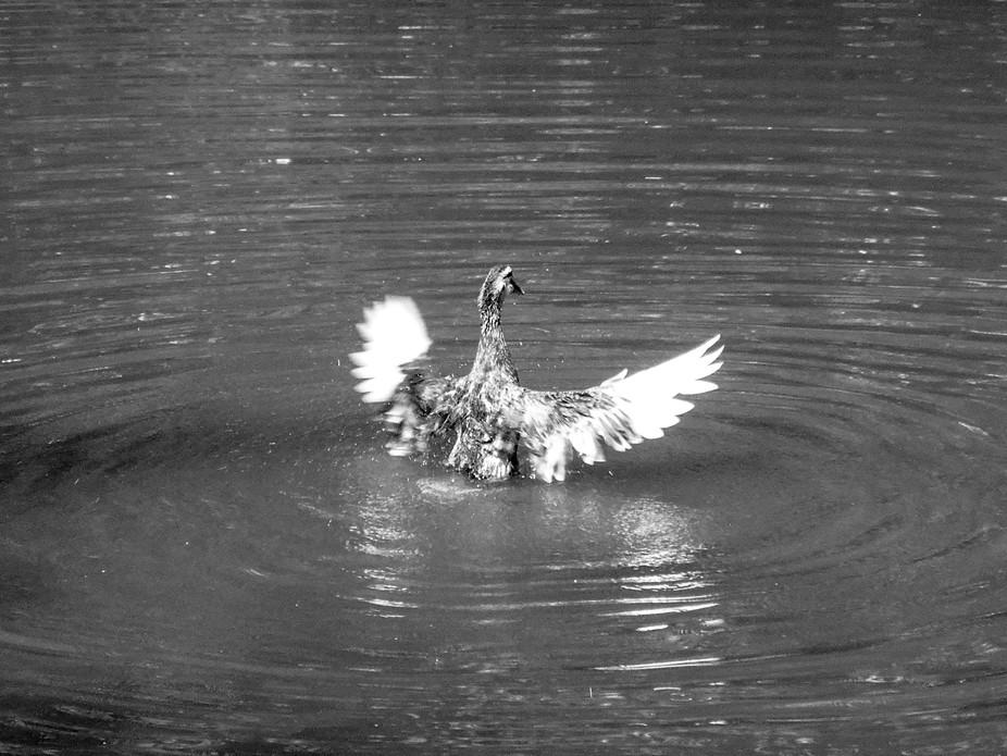 Flying Duck-1163