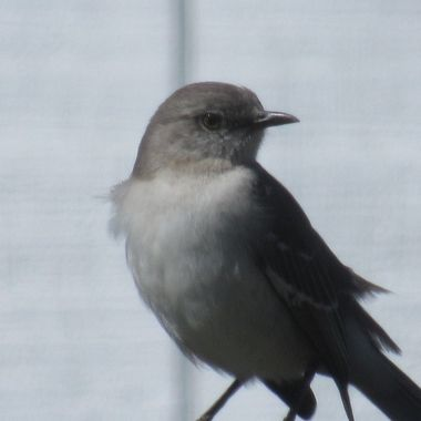 Snow day Mockingbird