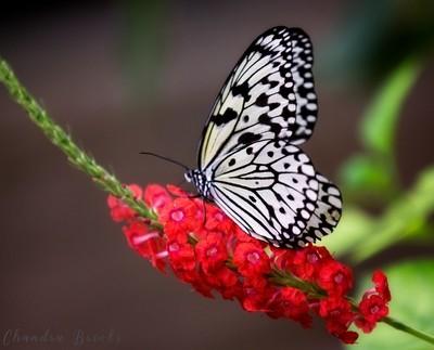 Ogomadara (Poison Butterfly)