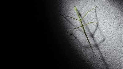 Stick Insect In Shadow