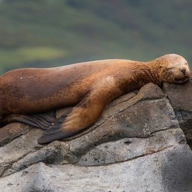 Kamchatka.  The sea lion sleeps sweetly.