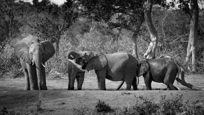 Afternon Bath, Elephants at Umlani - Umlani Bush Camp, South Africa, 7.2016Umlani Camp(JHB10878)