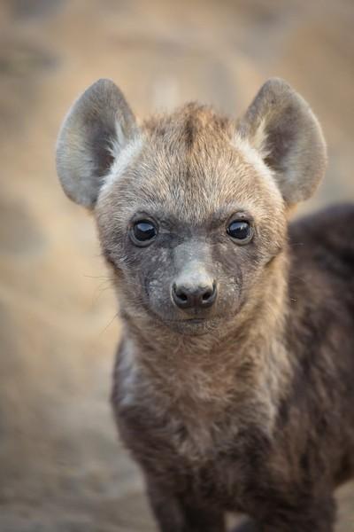 Hyena Pup Eyes - Umlani Bush Camp, South Africa, 7.2016Umlani Camp(JHB19595)