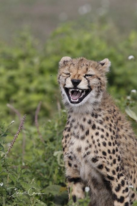 laughing cheetah - photo #30