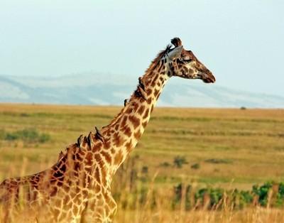 Giraffe ride