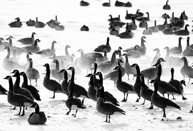 The Geese are gathered along the Missouri River in Bismarck ND around any bit of open water they can find over the frozen Tundra :)