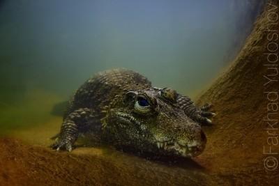 Dangerous reptile