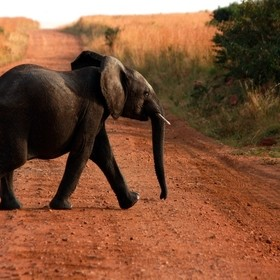 an elephant crossing the road