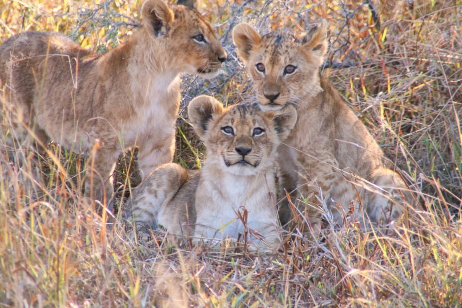 These lion cubs seemed to pose for the picture.  This was taken at the Savuti Elephant camp in Bo...