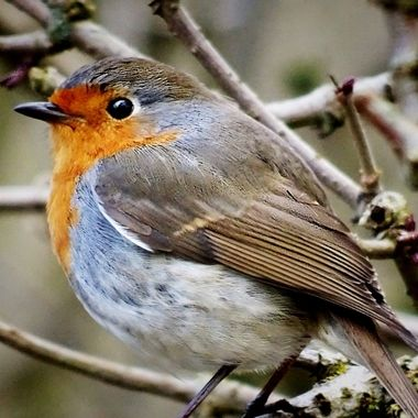 Walking round my local country park so happy to see my favourite bird and was able to get really close ,which was amazing and so proud of this capture of this sweet robin .
