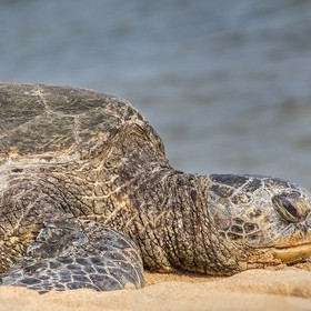 A sea turtle getting its beauty rest on a sunny beach in Kauai. --- Textures In Animals: 6629 / 11255