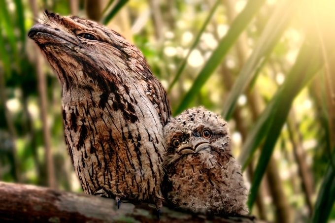 Tawny Frogmouth Sweetness by JudyPowellPhotography - Small Wildlife Photo Contest