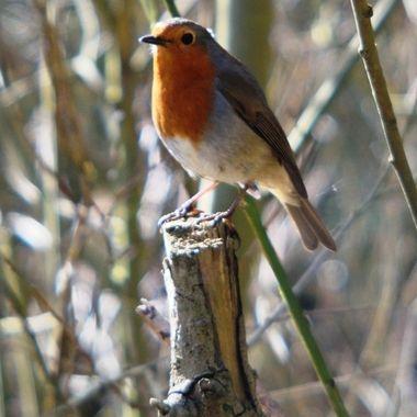 Robin on tree branch.