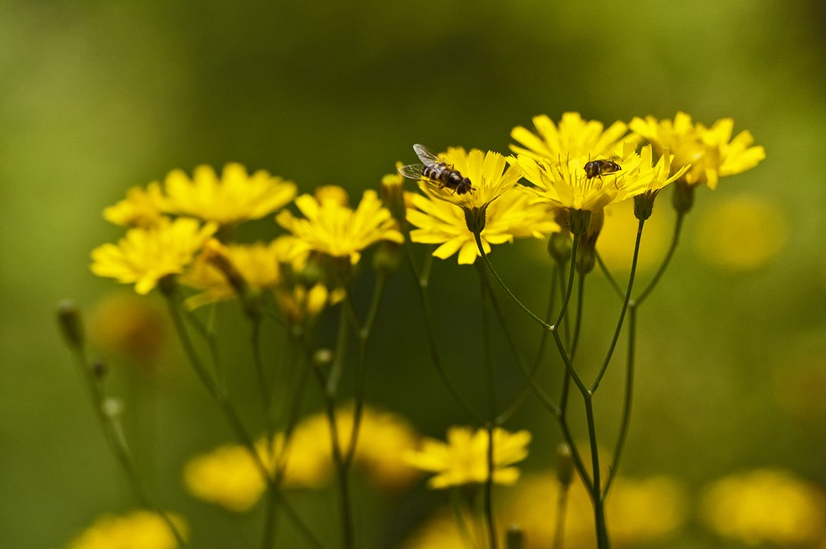 Hypochaeris glabra is a species of flowering plant in the daisy family known by the common name �...
