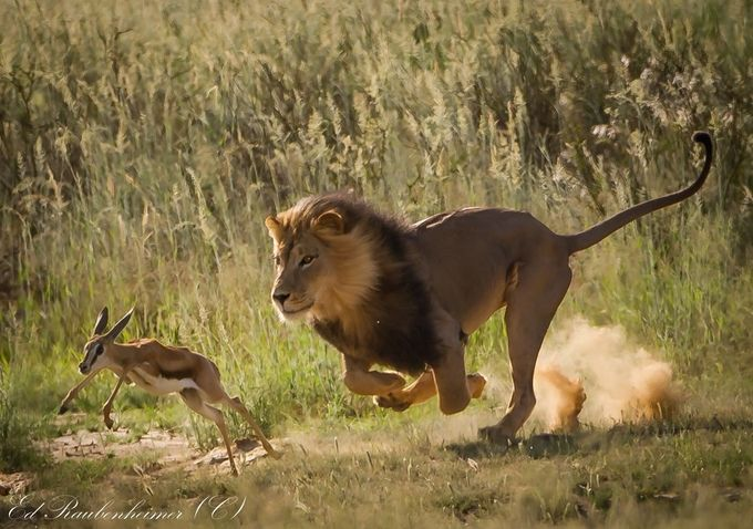 Male Lion and Baby Springbuck IMG_6817 by edraubenheimer - Fast Photo Contest