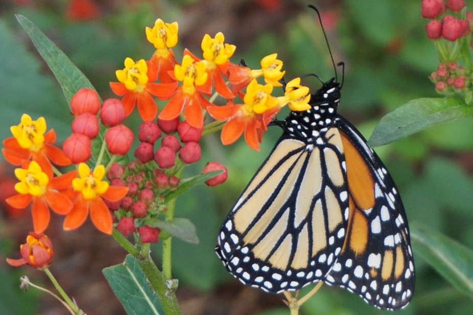Raw picture of butterfly on the flower.  Zoom picture with standard 50mm lens.