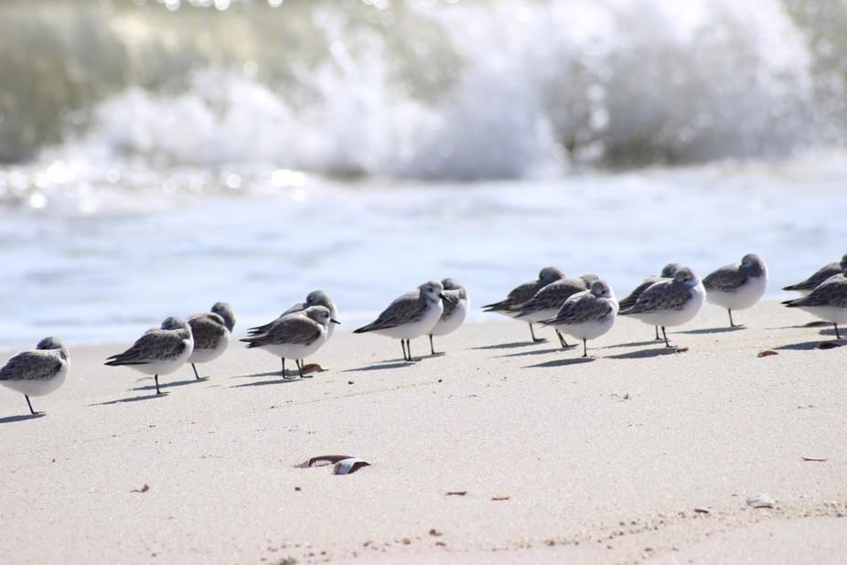 Sanderlings at the NJ shore