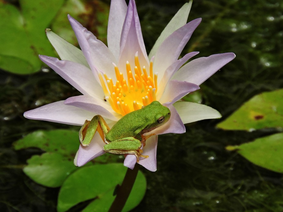 "I saw the frog on the flower in a artificial pond of the ""La Estanzuela"" Natura..."