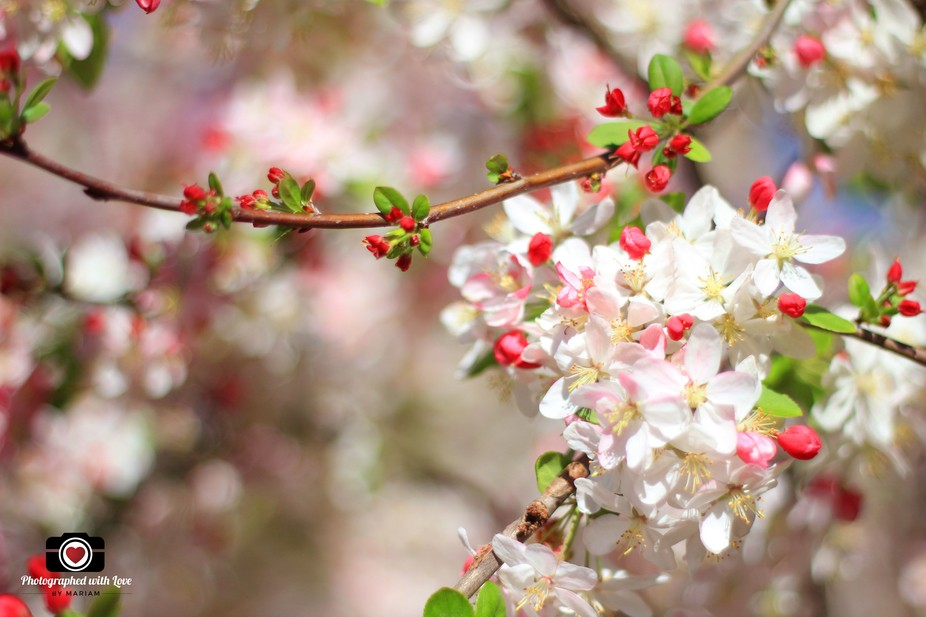 The beautiful cherry blossom that is blossoming beautifully in the spring.
