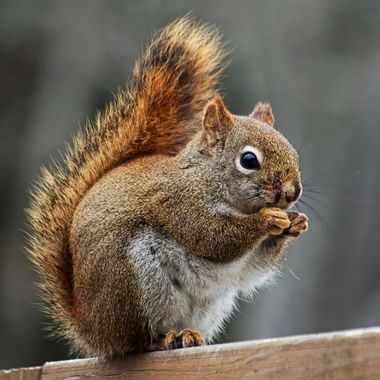 A close-up of a red squirrel sitting on a wooden fence.