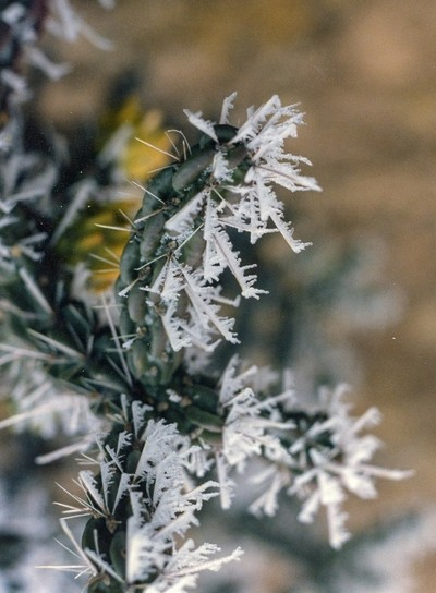 Hoar frost on Cane Cholla needles