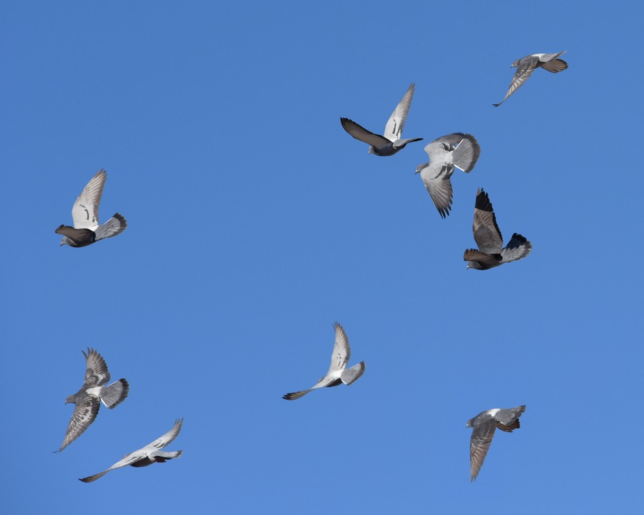 On the Wings of a Dove soaring higher on a clear blue day