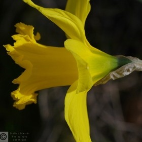 Macro Obsession, daffodil, Springtime in bloom