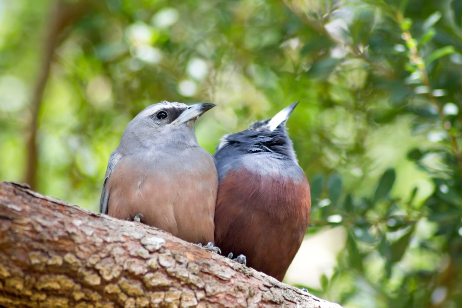 White-Browed Woodswallows having an afternoon nap in a tree. They closed their eyes once again af...