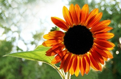 Sunflower with sun from behind